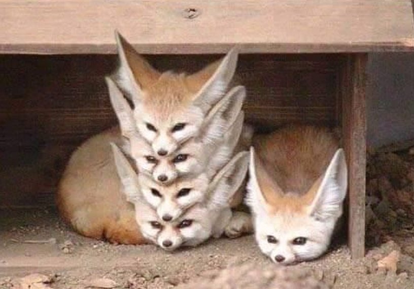 A stack of five fennec foxes lying on top of each other, with a fifth lying next to it.